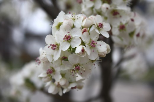 Flowers on a pear tree.  Photo by By Ltshears.