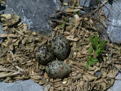 Killdeer eggs from the field in front of our house. They were so well camouflaged that I would never have seen them if the mother had not been nearby.