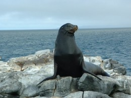 Even the sluggish Galapagos Sea Lion has been occasionally observed killing penguins.