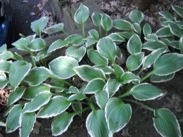 Hostas, plants which thrive in both shade and rocky earth areas