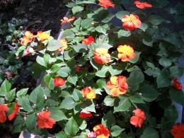 Orange Impatiens, which grow very well in shade areas. They come in a plethora of colors.