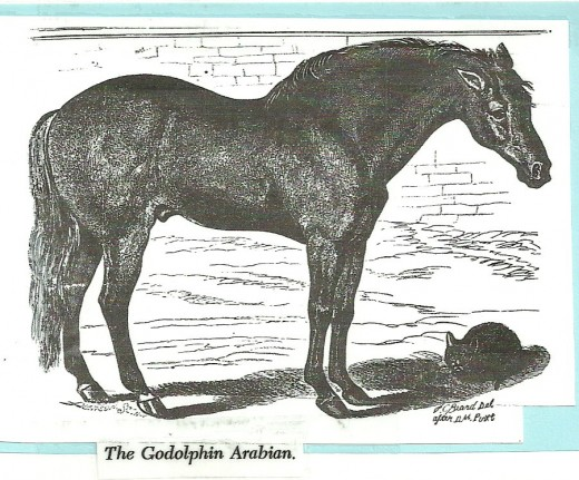 "The Godolphin Arabian (""Barb"") is one of three foundation stallions to American Thoroughbred bloodlines."