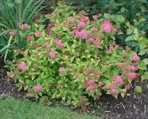 Spiraea, another shade lover that thrives in rocky soil. Ours are 25 yrs. old, but the bushes stay low, and now come in more colors