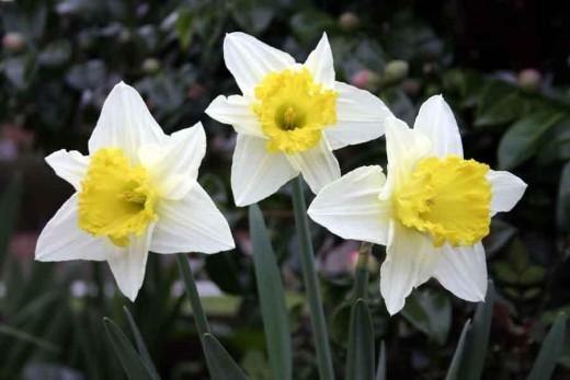 daffodils brighten the landscape