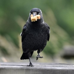 British Birds: Jackdaw Pictures: Meet Jack Daw the Car Park Attendant