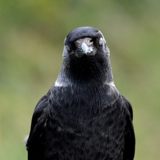 Jackdaw blinking.  Like most birds, jackdaws have a thin membrane, rather than an eyelid, that covers the eye.