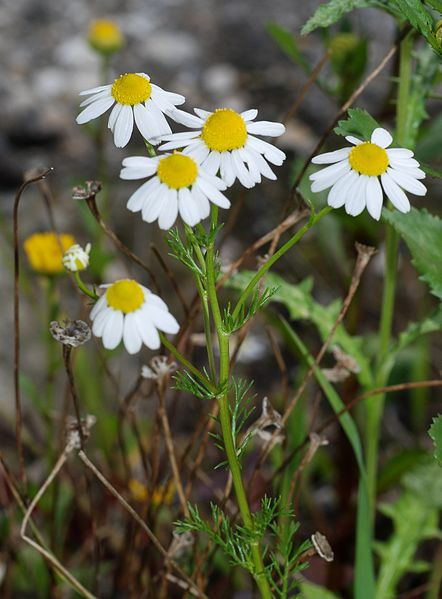 "Chamomile (German) (Matricaria recutita), perennial,  white daisy-like florets with strong, aromatic smell, grows up to 23"" tall, prefers semi-dry soil.  Used in teas for its calming effect."