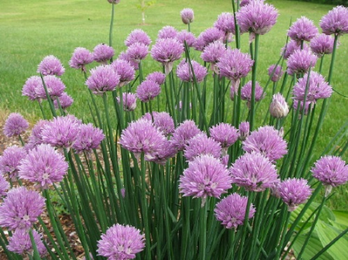 "Chives (Allium schoenoprasum), perennial, 6-18"" tall, prefers bright light shade, moist soil, flower is globe like with numerous florets, winter hardy and long-lived.  Chives green stakes are used to add a light onion flavor and smell."