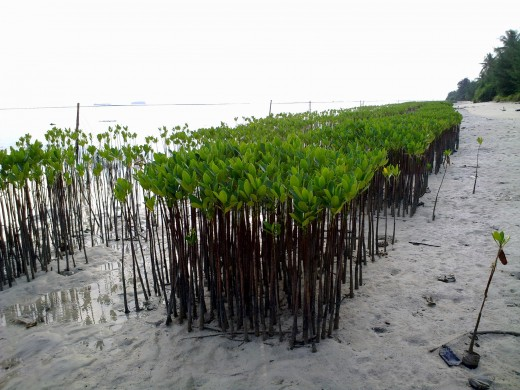 Mangrove seedlings at Small Tidung.