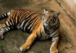 A bengal tiger in captivity.