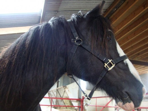 Smile: Sophie the Shire horse poses for the camera