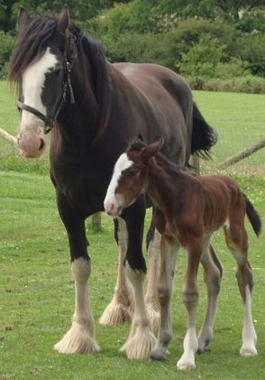 Close: The Shire horse mare and her foal in the field