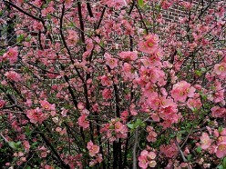 How to Grow Flowering Quinces