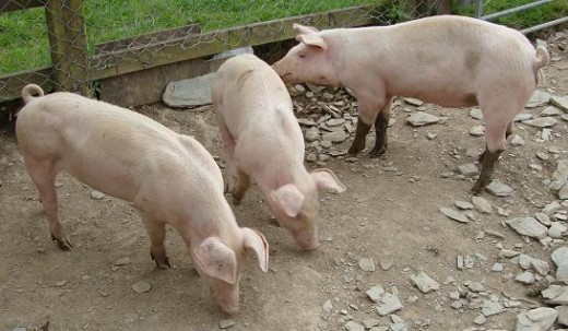 Animals: The pigs are some of the creatures that make up the working farm