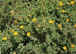 How to Grow the Garden Shrub Cinquefoils in the Garden or Backyard