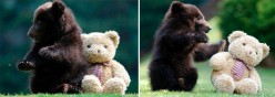 Teddy Bears and Real Life Bears