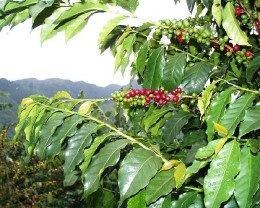 World acclaimed Blue Mountain coffee