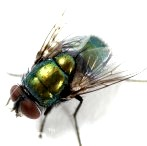 Flies carry salmonella bacteria