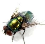 Flies carry salmonella bacteria