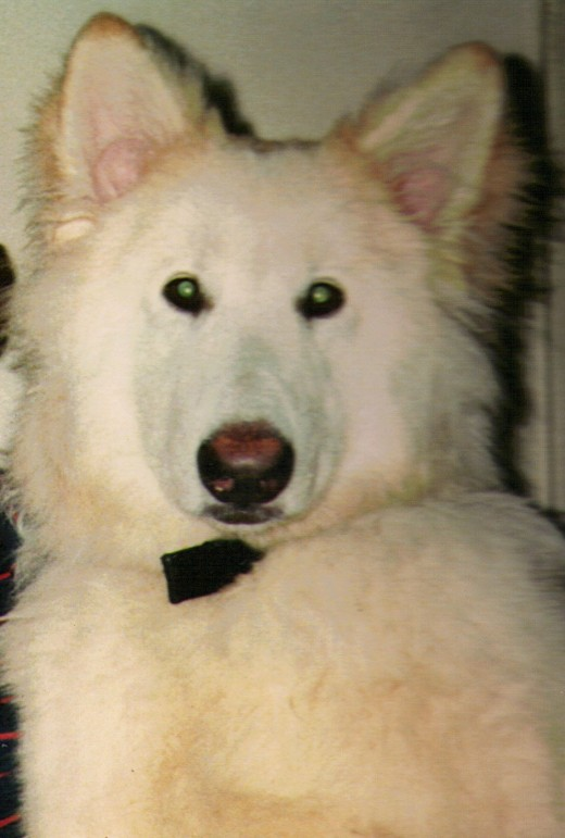 "All Rights Reserved Lulu Author SM Rodgers, Legacy of the Skull Master This is a picture of ""Wolfer"", an Alaskan Hybrid Wolf"