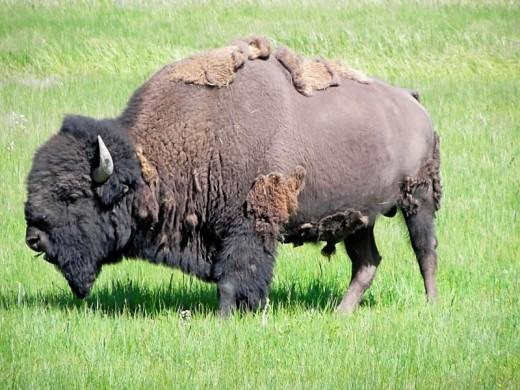 Bison Yellowstone June 2011