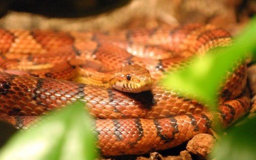 Corn Snake Also Known As The Red Rat Snake