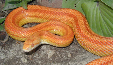 Striped Corn Snake. Most corn snakes and rat snakes sold in the U.S.A. today are bred in captivity. Captive breeding is where the unusual colors come from.