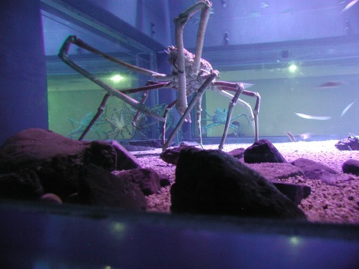 Spider crab in aquarium Osaka, Japan