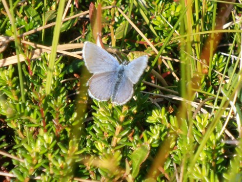 A Silver studded blue butterfly