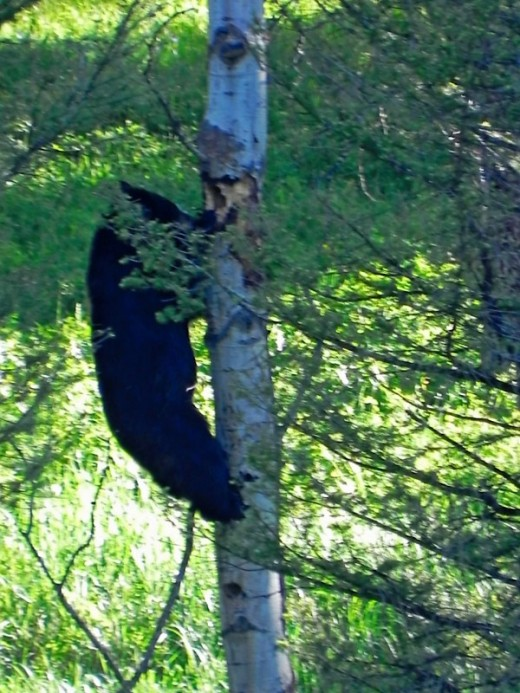 Black Bear Eating Around Tree
