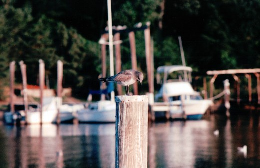 Image of seagull and boats on Valentine Creek, located in Crownsville, Md.