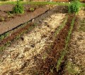 Starting a New Garden the No Dig Way using in-Garden Composting and Potatoes
