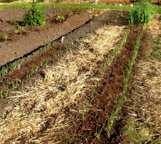 Trench Composting With Kitchen Scraps: Starting A New Garden The No Dig Way Using In-Garden