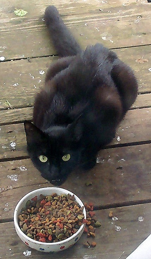 Feral cat eating