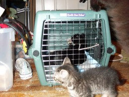 Dot resting after his neuter.  Rori, the feral rescue kitten, has been socialized and is investigating.