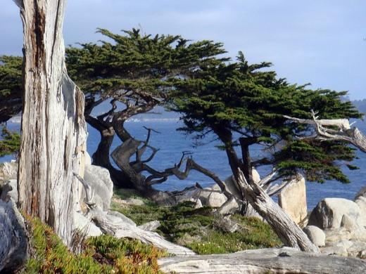 Same species of cypress at Pebble Beach.