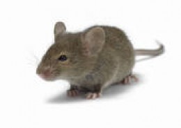 THE CUTE CULPRIT: THE COMMON RAT WHO CAUSES HOMEOWNERS STRESS, SICKNESS AND LOSS TO FOOD AND PEACE OF MIND.