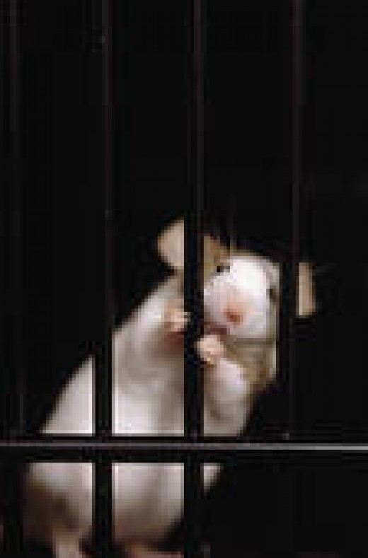 THIS IS A NICE PHOTO THAT I WOULD LOVE TO SEE BECOME A REALITY--A RAT SECURELY-HELD BEHIND BARS.