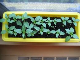 Thai Basil...fast growing