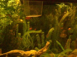 My aquarium as of July 11. More Platys keep emerging as you can see!