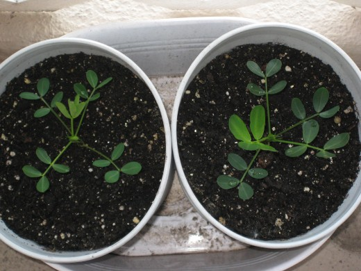 I transplanted the peanut plants to bigger containers.  Note:  The leaves are of a rounder shape as the plants grew.