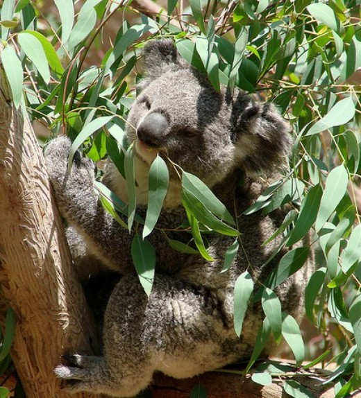 Koala munching Eucalyptus leaves.