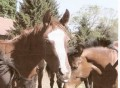 Thoroughbred Racing and Unwanted Horses Rescue