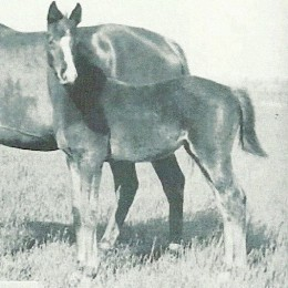 Triple Crown (1930) champion Gallant Fox as a foal.
