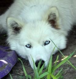 White wolf hybrid
