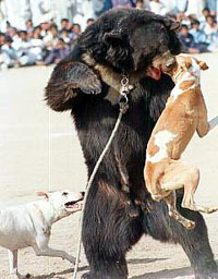 Bear baiting in Pakistan(from incobra.wordpress.com)