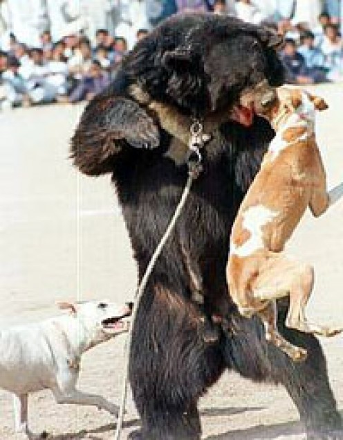 Bear baiting in Pakistan(from incobra.wordpress.com)