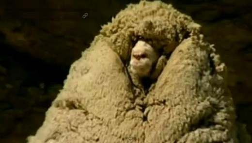 Shrek - New Zealand's most famous sheep
