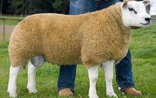 Most expensive sheep in the world