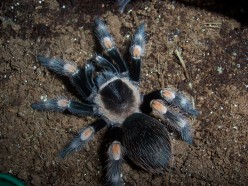 New World and Old World tarantula's